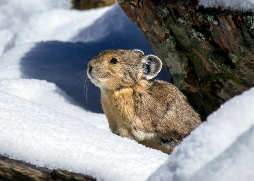 Pika in snow