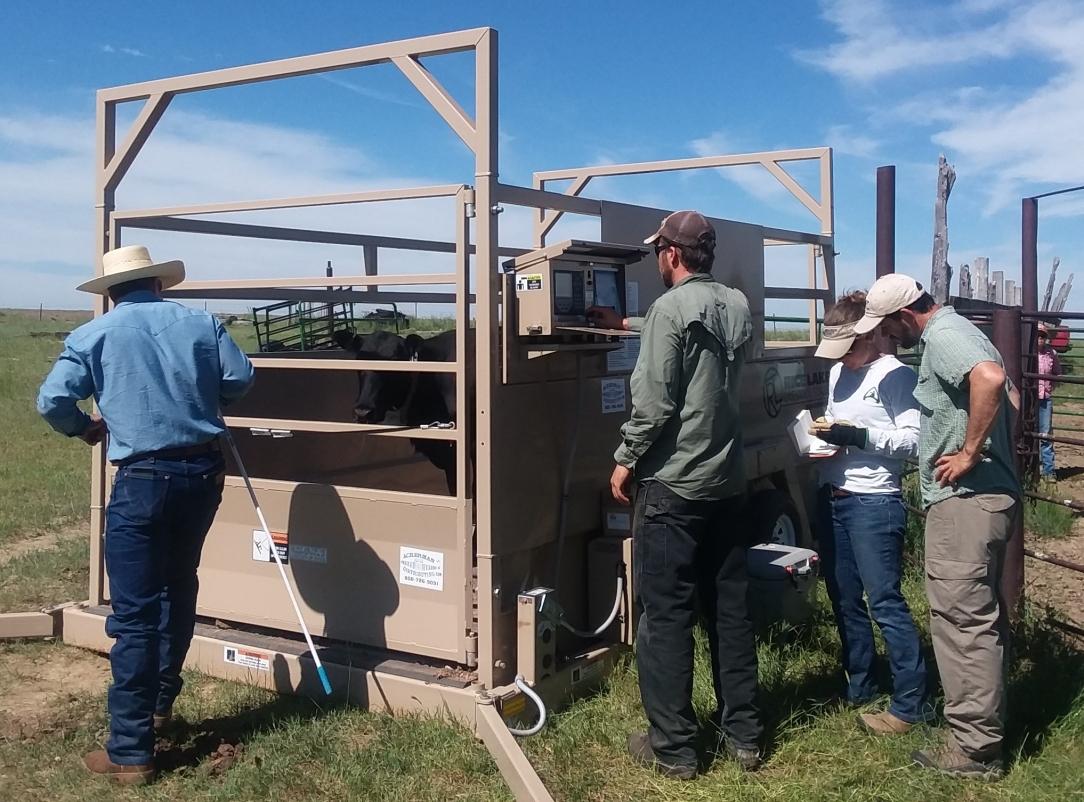 Weighing cattle with the Thunder Basin Grassland Prairie Ecosystem Association team.
